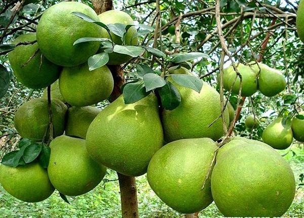 Bưởi được biết đến là loại trái cây rất thông dụng